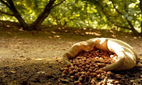 Nocciole, Agronomi: 'In Irpinia buona qualità ma produzione in calo'