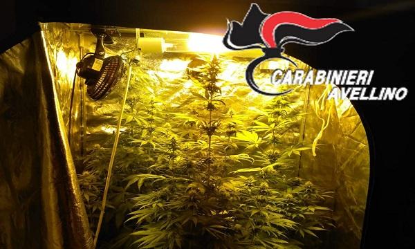 Calitri, marijuana coltivata indoor: piante alte circa due metri