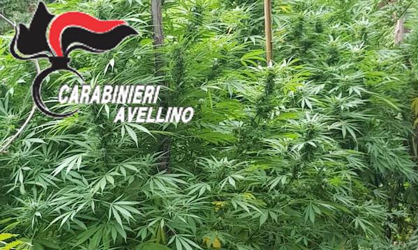 Operazione antidroga a Montoro, distrutte due piantagioni di marijuana