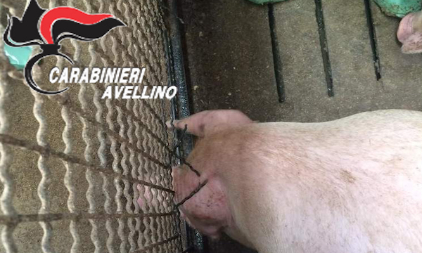 Rifiuti a rischio infettivo e maltrattamento di animali, lager per suini a Lacedonia