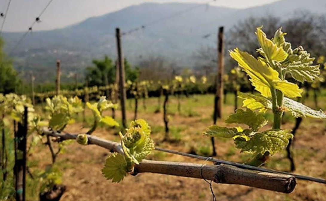 Fiano e Greco a 1 euro, Villa Raiano: 'Scellerata operazione di alcuni punti vendita'