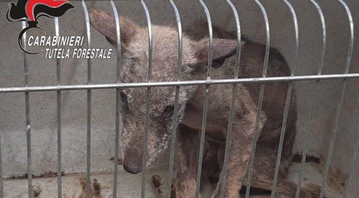 Montella: escursionista trova un cucciolo di lupo, i soccorsi dei carabinieri